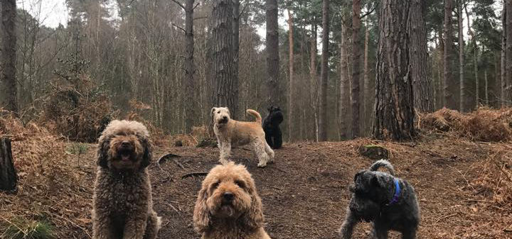 dog boarding surrey dog walking